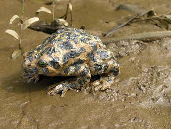 EUROPEAN GREEN TOAD, Bufo viridis - Click here for bigger picture
